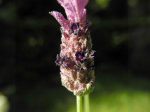 Schopf Lavendel Bluete lila Lavandula stoechas 14