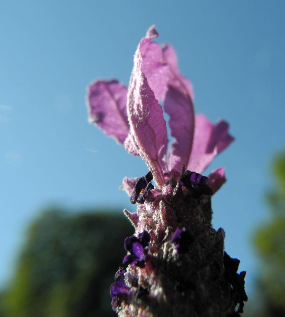 Schopf Lavendel Bluete lila Lavandula stoechas