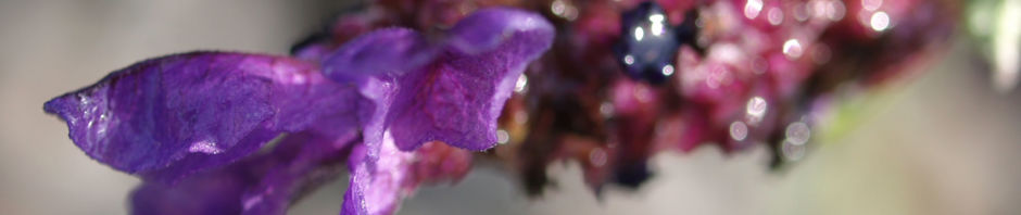 schopf-lavendel-bluete-lila-lavandula-stoechas