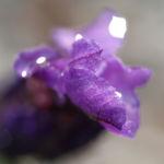 Schopf Lavendel Bluete lila Lavendula stoechas 06