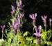 Zurück zum kompletten Bilderset Schopf-Lavendel Lavandula stoechas