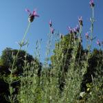 Schopf Lavendel Lavandula stoechas 06