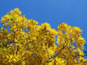 Bild: Schuppenrinden Hickory Blatt gelb Carya ovata