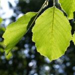 Schwarz Erle Baum Rinde Blatt Alnus glutinosa 04