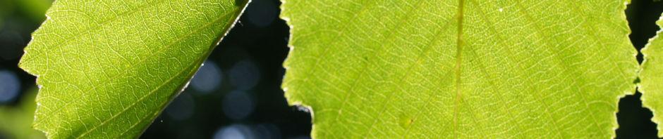 schwarz-erle-alnus-glutinosa