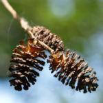 Schwarz Erle Baum Rinde Blatt Alnus glutinosa 05