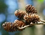 Schwarz Erle Baum Rinde Blatt Alnus glutinosa 08