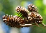 Schwarz Erle Baum Rinde Blatt Alnus glutinosa 11