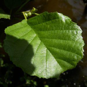 Schwarz Erle Blatt Alnus glutinosa 01