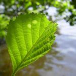 Schwarz Erle Blatt Alnus glutinosa 02