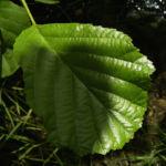 Schwarz Erle Blatt Alnus glutinosa 03