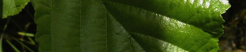 schwarz-erle-blatt-gruen-alnus-glutinosa