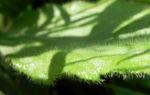 Schwarzaeugige Rudbeckie Blatt gruen Rudbeckia hirta 02