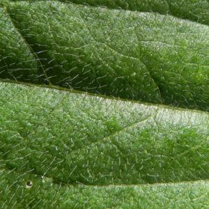 Schwarzaeugige Rudbeckie Blatt gruen Rudbeckia hirta 09