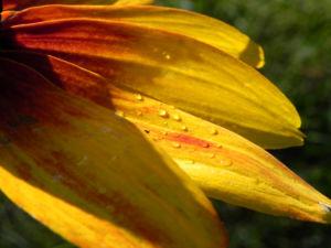 Schwarzaeugige Rudbeckie Bluete rot gelb Rudbeckia hirta 02