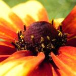 Bild:  Schwarzäugige Rudbeckie Blüte rot gelb Blatt grün Rudbeckia hirta