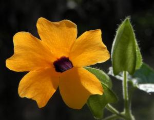Schwarzaeugige Susanne Bluete gelb schwarz Thunbergia alata 18