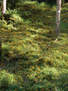 Schwarzaeugige Susanne Bluete gelb schwarz Thunbergia alata 23