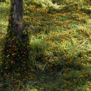 Schwarzaeugige Susanne Bluete gelb schwarz Thunbergia alata 25