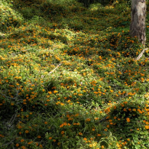 Schwarzaeugige Susanne Bluete gelb schwarz Thunbergia alata 26