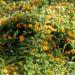 Zurück zum kompletten Bilderset Schwarzäugige Susanne Blüte gelb schwarz Thunbergia alata