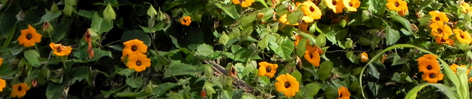 Anklicken um das ganze Bild zu sehen  Schwarzäugige Susanne Blüte gelb schwarz Thunbergia alata