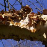 Schwarzbirke Rinde Betula nigra 01