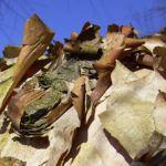 Schwarzbirke Rinde Betula nigra 02