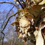 Schwarzbirke Rinde Betula nigra 03