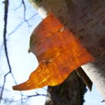 Schwarzbirke Rinde Betula nigra 04