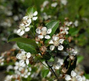Bild: Schwarze Apfelbeere Bluete weiß Aronia melanocarpa