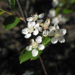 Schwarze Apfelbeere Bluete weiß Aronia melanocarpa 04