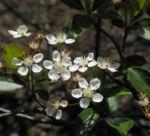 Bild: Schwarze Apfelbeere Blüte weiß Aronia melanocarpa