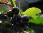 Schwarze Apfelbeere Strauch Frucht dunkel blau Aronia melanocarpa 13