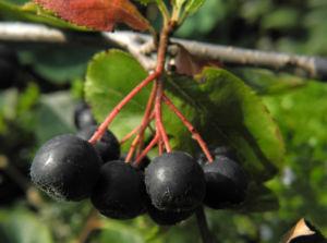 Schwarze Apfelbeere Strauch Frucht dunkel blau Aronia melanocarpa 14