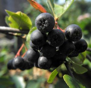 Schwarze Apfelbeere Strauch Frucht dunkel blau Aronia melanocarpa 15