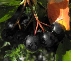 Schwarze Apfelbeere Strauch Frucht dunkel blau Aronia melanocarpa 16
