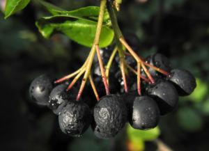 Schwarze Apfelbeere Strauch Frucht dunkel blau Aronia melanocarpa 17