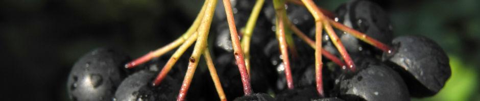 schwarze-apfelbeere-strauch-frucht-dunkelblau-aronia-melanocarpa