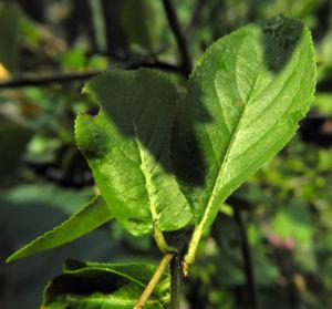 Schwarze Apfelbeere Strauch Frucht dunkel blau Aronia melanocarpa 20