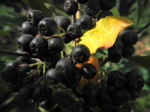 Schwarze Apfelbeere Strauch Frucht dunkel blau Aronia melanocarpa 22