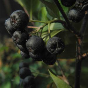 Schwarze Apfelbeere Strauch Frucht dunkel blau Aronia melanocarpa 23