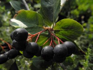 Schwarze Apfelbeere Strauch Frucht dunkel blau Aronia melanocarpa 24