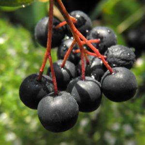 Schwarze Apfelbeere Strauch Frucht dunkel blau Aronia melanocarpa 25