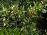 Bild: Schwarze Apfelbeere Strauch Frucht dunkelblau Aronia melanocarpa