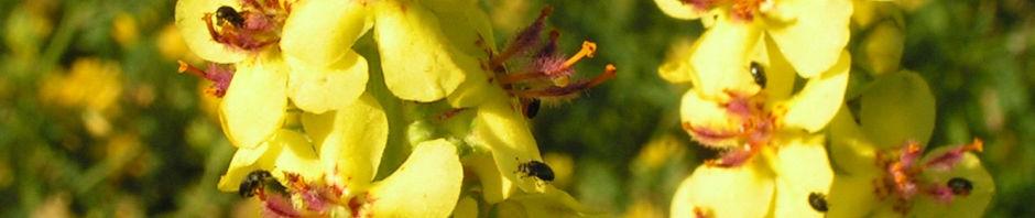 schwarze-koenigskerze-bluetenstand-gelb-roetlich-verbascum-nigrum