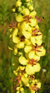 Schwarze Koenigskerze Bluetenstand gelb roetlich Verbascum nigrum 06