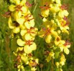 Schwarze Koenigskerze Bluetenstand gelb roetlich Verbascum nigrum 08