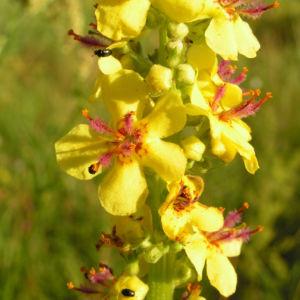 Schwarze Koenigskerze Bluetenstand gelb roetlich Verbascum nigrum 11