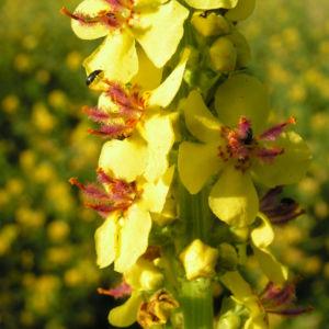 Schwarze Koenigskerze Bluetenstand gelb roetlich Verbascum nigrum 13